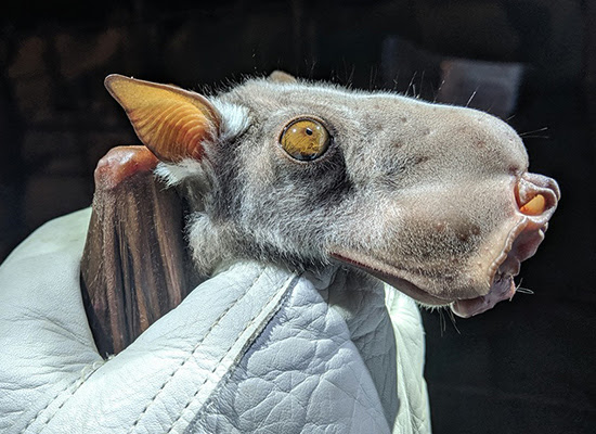 hammer-headed bat