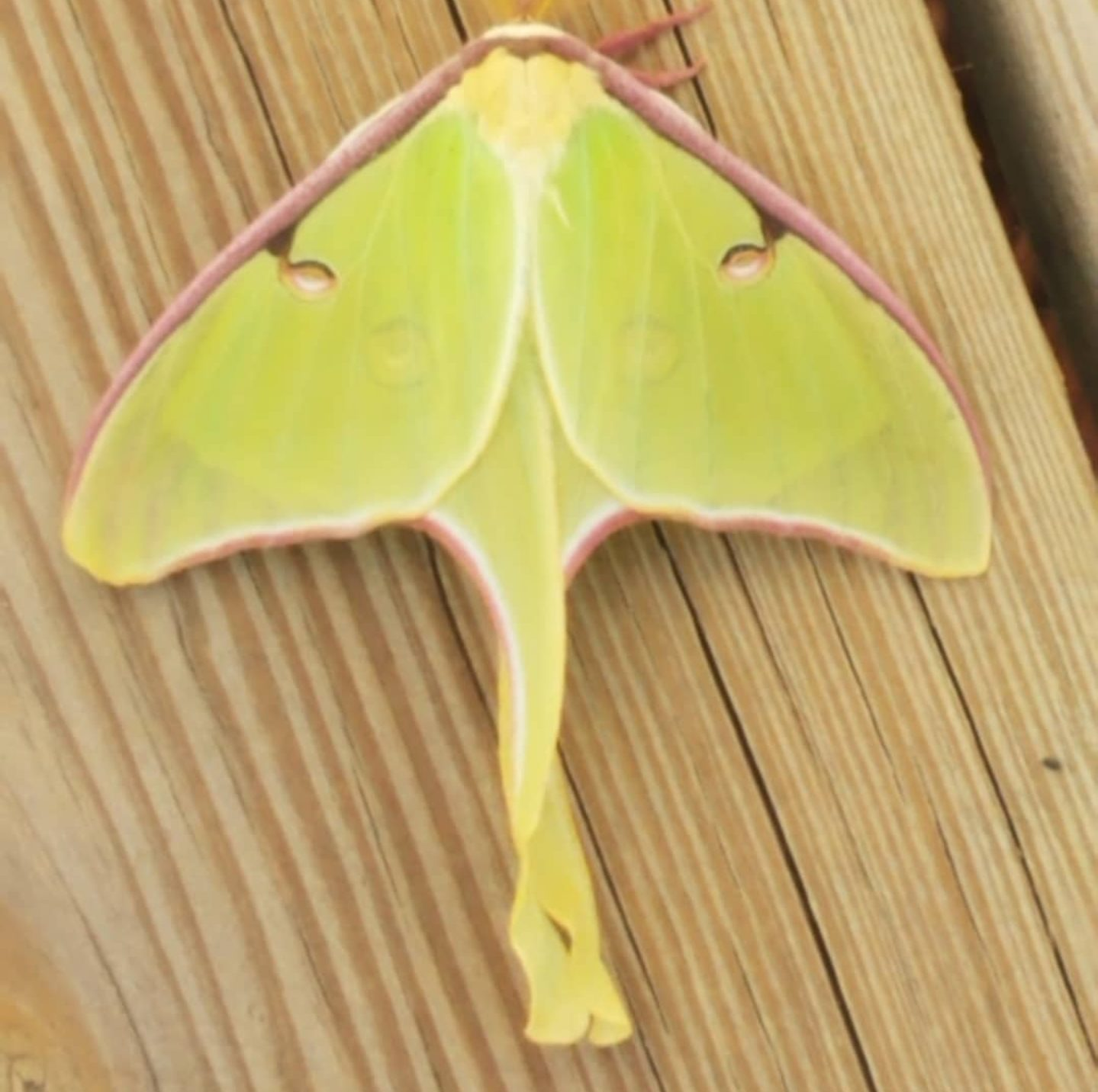 Luna moth photo by Bruce E Thornton