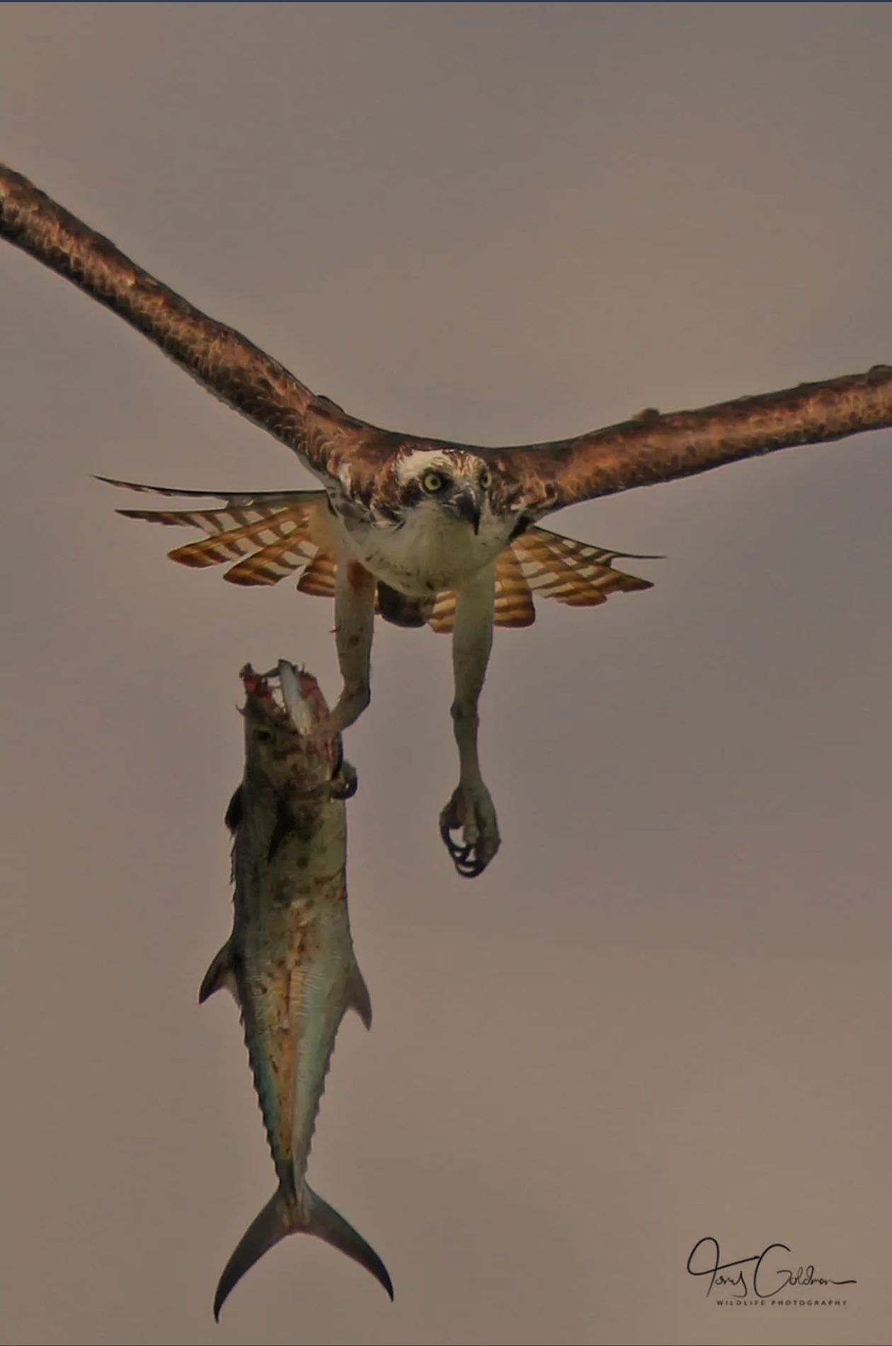 Male Osprey with Spanish Mackerel for lunch in Tampa copyr Anthony Goldman