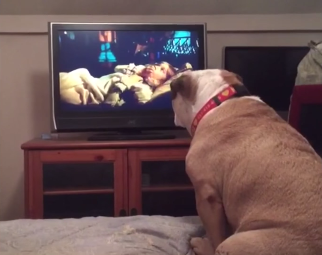 English Bulldog Warns a Girl