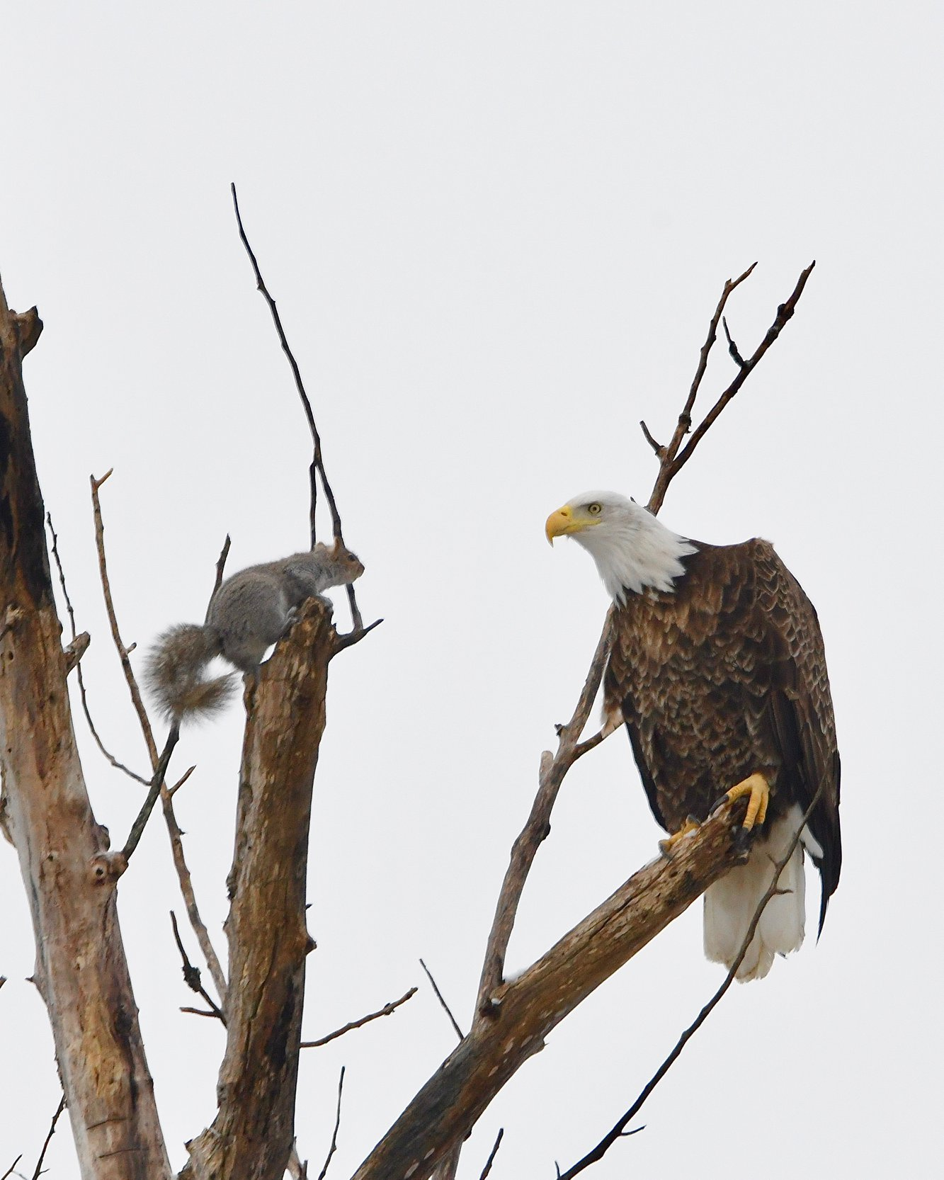 Gray Squirrel and Bald Eagle in staring match