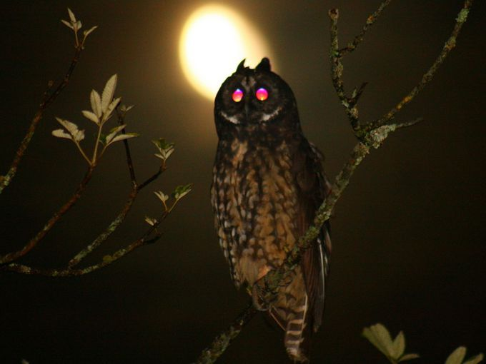 red eyes owl
