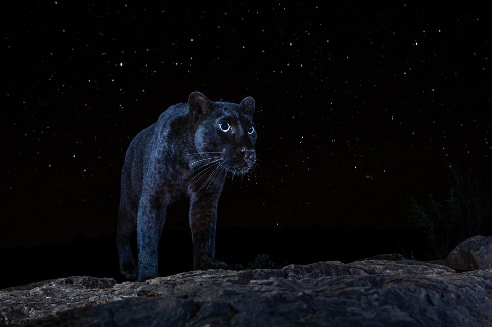 A rare African black leopard under the stars